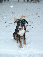 Greater Swiss Mountain Dog reindeer