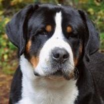 The Greater Swiss Mountain Dogs of Wildest Dream Farm bred to Trout Creek in Washington Tucker X Millie.  Looking for Greater Swiss Mountain Dog Puppies soon.