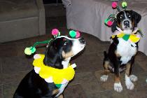 Greater Swiss Mountain Dog puppies in Southern Michigan near Ohio