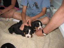 Friends from Ohio up to visit 3 week old Greater Swiss Mountain Dog Puppies