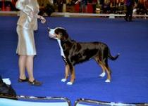 Havana, Greater Swiss Mountain Dog wins at Eukanuba (BOS) two years in a row.