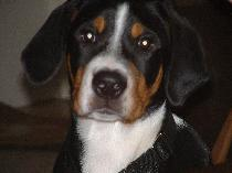 Greater Swiss Mountain Dog Puppy in Michigan near Ohio