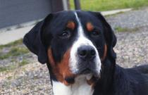 Greater Swiss Mountain Dog in Grand Rapids Michigan