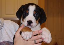 Greater Swiss Mountain dog puppies in Michigan near Ohio, PA, Indiana, Illinois and Canada