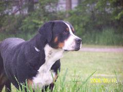 A Champion Greater Swiss Mountain Dog.  Ch. Rippling Waters Justus