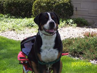 Greater Swiss Mountain Dog sitting in chair
