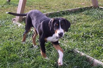 Greater Swiss Mountain Dog Puppy in Michigan