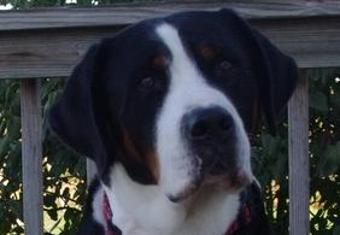 Greater Swiss Mountain Dog, Swissy, Swissie, GSMDCA