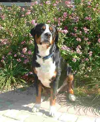 Wellington a Greater Swiss Mountain Dog from Quiet Valley Swissies