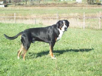 Rippling Waters Justus the National Champion Greater Swiss Mountain Dog AKC