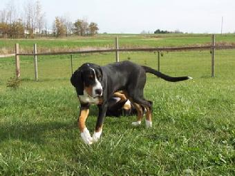Greater Swiss Mountain Dog or Swissy at one year walking around the yard.  Swissies are part of the workink group and are a draft and drover breed.