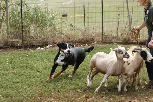 A Greater Swiss Mountain Dog herding sheep.  Tangee a Swissie has had one litter of puppies at Wildest Dream Swissies