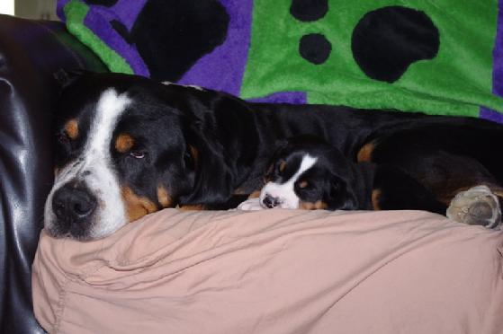 National Champion Rippling Waters Justus a Greater Swiss Mountain Dog living in Michigan just 12 North of Ohio with his daughter Wildest Dream Garacious Gift Siddalee.  A Greater Swiss Mountain dog at Wildest Dream Swissies.