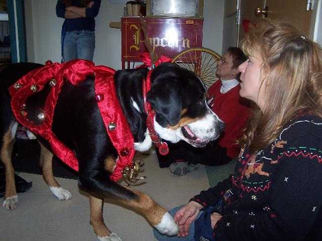 Greater Swiss Mountain Dog getting ready to play a Reindeer