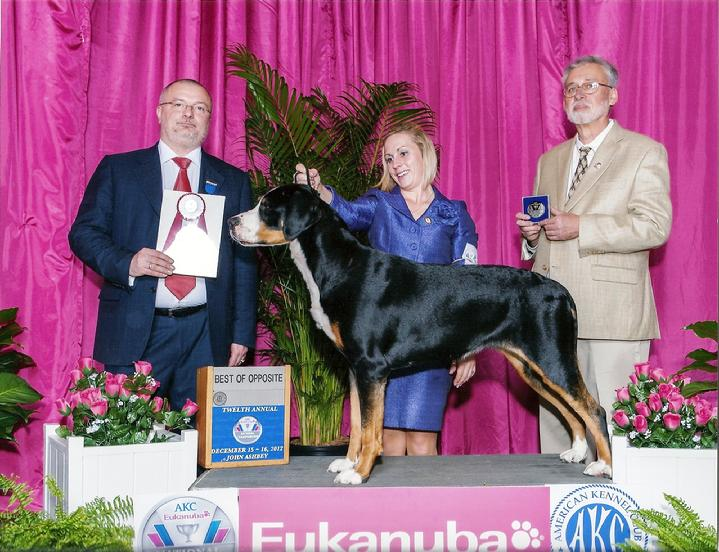 KellyeBacon St John showing Havana.  Havana has been ranked number 1 and 2 Greater Swiss Mountain Dog female for most of 2012.  Her regular handler is Valerie McGraw.