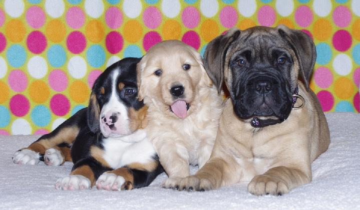 Greater Swiss Mountain Dog and friends (Pandora Bull mastiff)